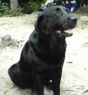 Dog - Black Labrador named Moose